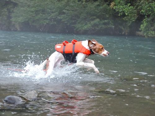 犬 ライフジャケット 川