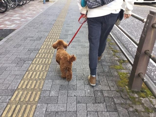 トイプードル 散歩