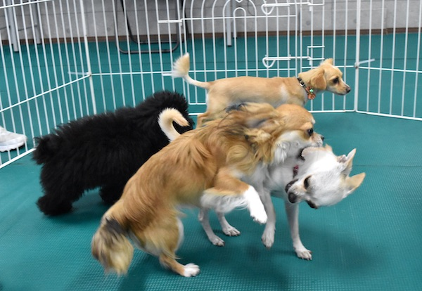 犬同士の遊び(幼稚園).jpg