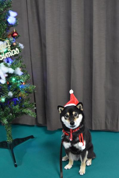 柴犬 もこちゃん クリスマス会 2018年