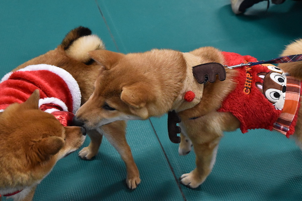 犬同士のコミュニケーション 2018 クリスマス会